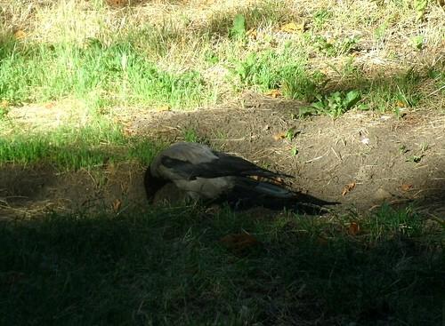 Nebelkrähe
