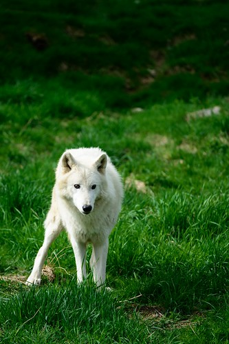 Polarwolf by OK's Pics