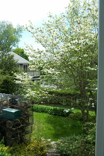 16 May 2013 Back yard - white dogwood tree