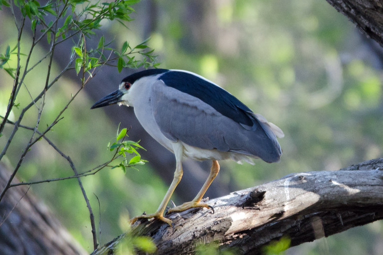 _DSC3674 Black-crown Night Heron