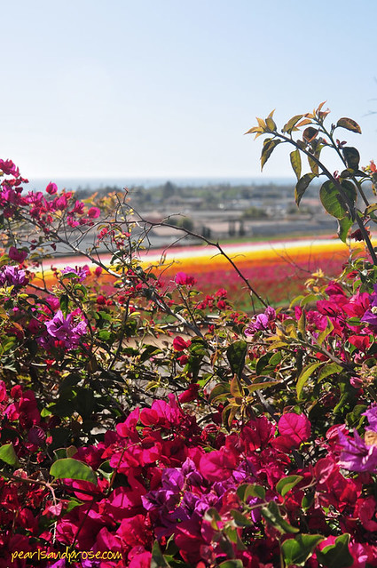 flower_fields_bougainvillea_web