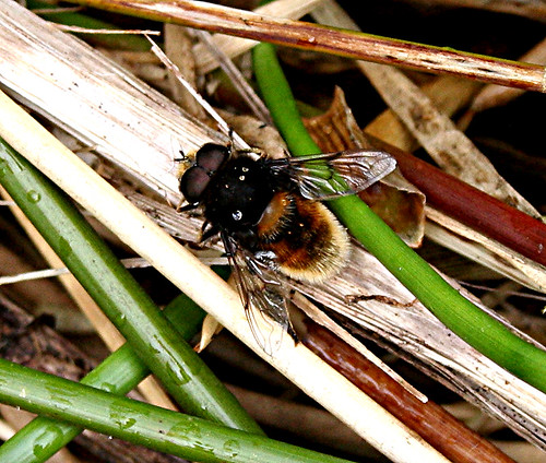 Eristalis intricarius Tophill Low NR, East Yorkshire May 2013