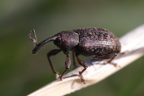 Pale-spotted Gray Weevil (Notaris puncticollis)