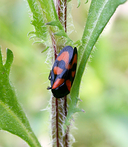 Cercopis vulnerata Tophill Low NR, East Yorkshire May 2013