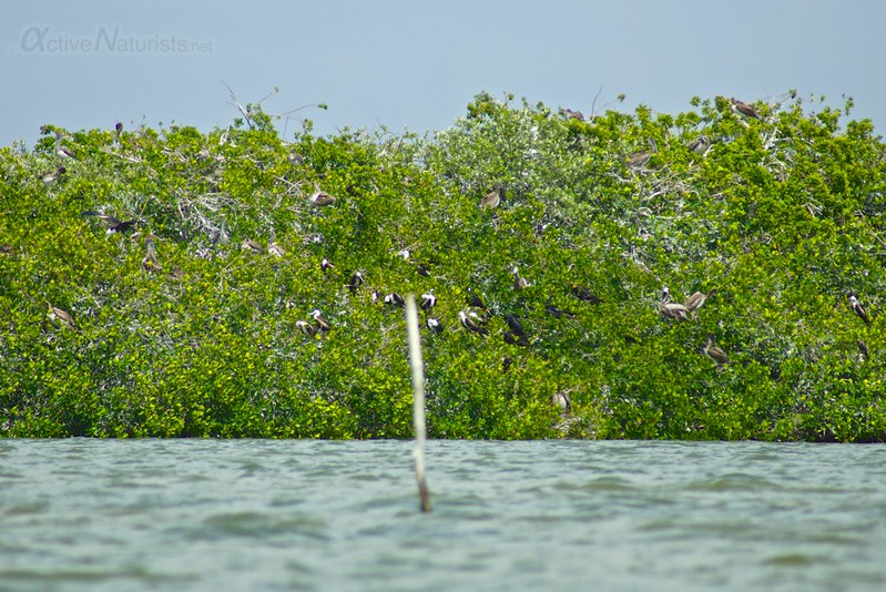 shorebird colony 0000 mangroves, Progreso, Yucatan, Mexico