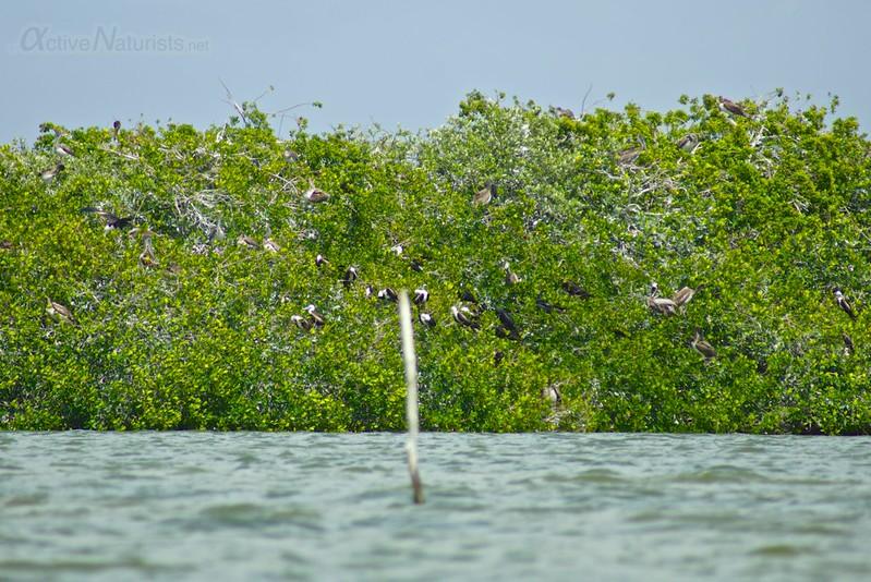 shorebird colony 0000 mangroves, Progreso, Yucatan, Mexico