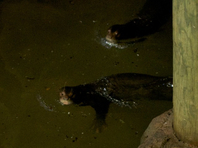 Swimming Giant Otters