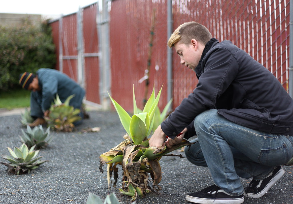 Linda Jo Morton, gardening specialist for University Property Management, and Alex Kimble, grounds student assistant, trim damaged leaves from an agave plant in Parkmerced Monday, Feb. 11. UPM has replaced small lawns with drought-tolerant plants in an effort to reduce water use on campus. Photo by Ryan Leibrich / Xpress