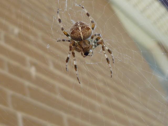 cross spider / Araneus diadematus