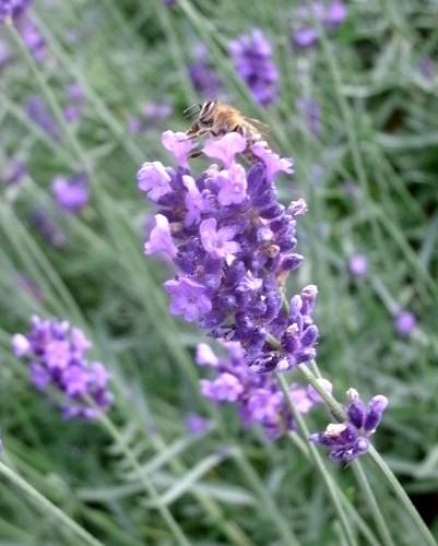 Lavendel 3