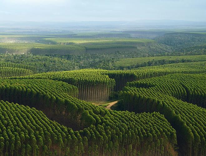 plantação-de-eucalipto.jpg
