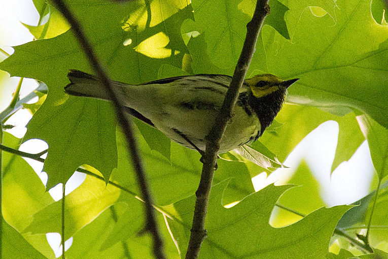 _DSC9824 Black-throated Green Warbler