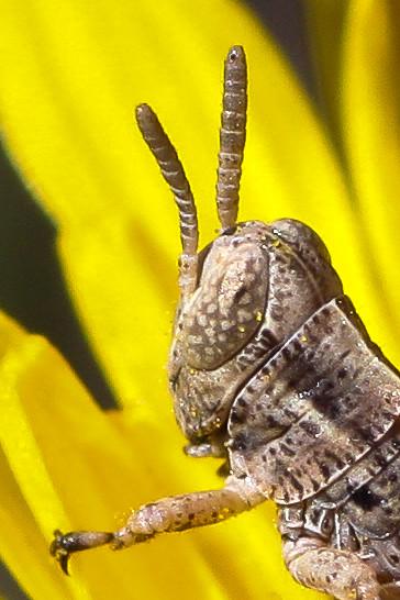 Pasture Grasshopper (Melanoplus confusus)