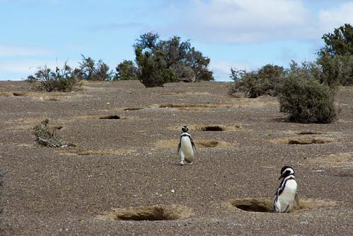 Nidos de pingüinos en Punta Tombo