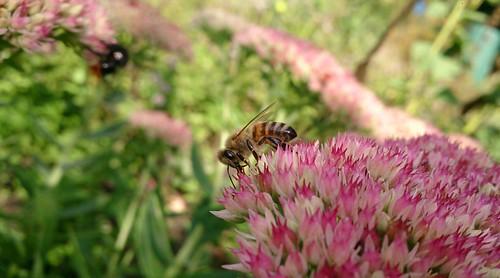 Biene-auf-Blüte August 2013 - Bild 07