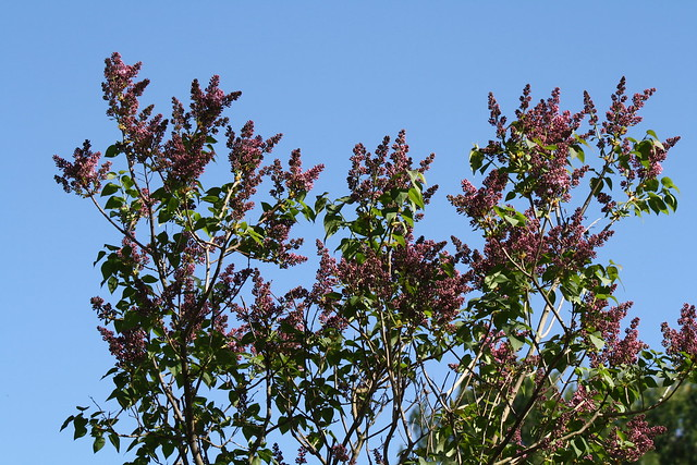 abundant lilac