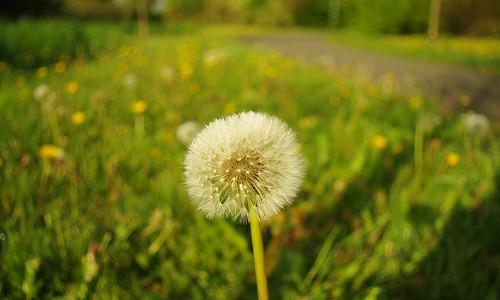 20130519-04_Dandelion Seed Head by gary.hadden