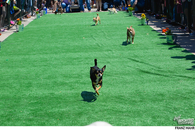140503_chihuahua race8-156