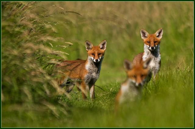 Fox cub group