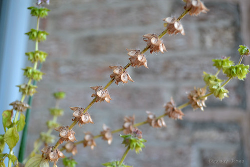 Basil Seedpods
