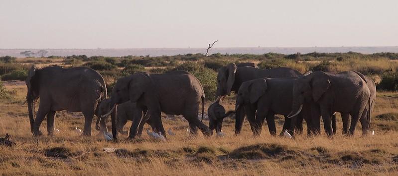 Herd of elephants in Amboseli National Park