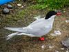 Arctic Tern (1)