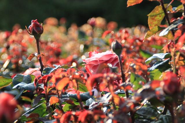 Roses in Regents Park