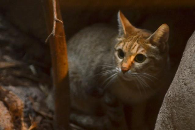 Hiding Wlidcat