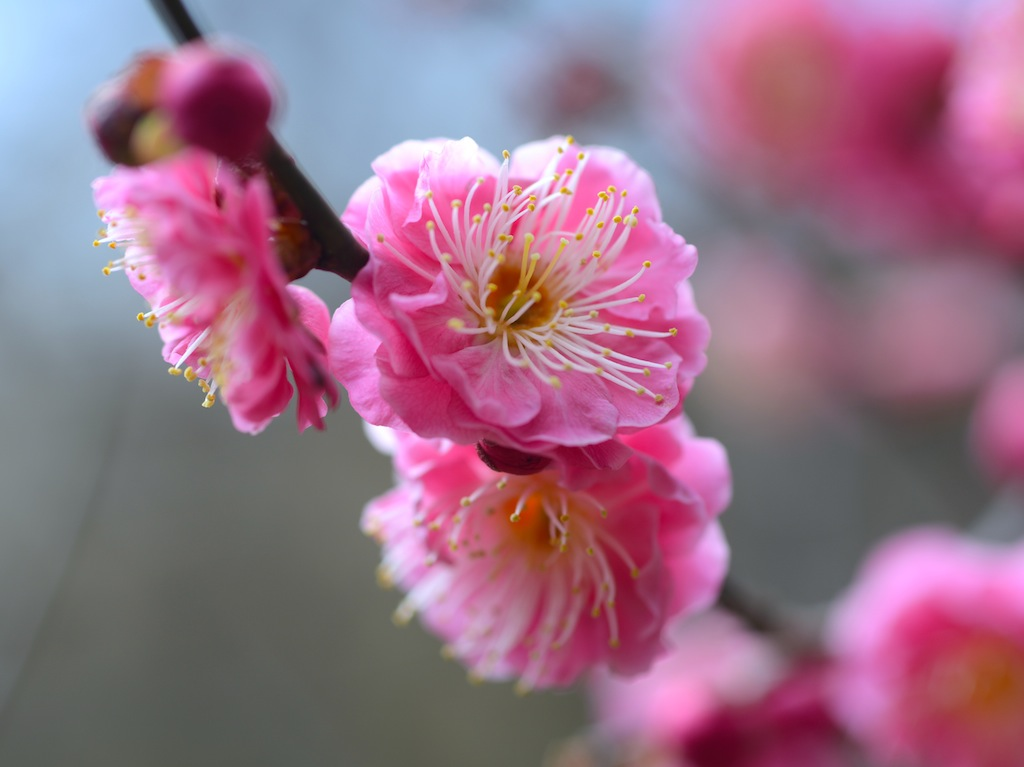 Japanese Apricot :pink flowers:红梅花