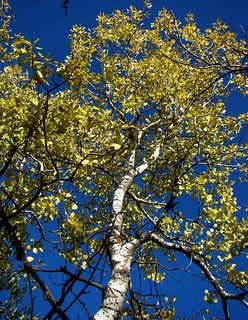 golden_populus_tremula_indian_summer