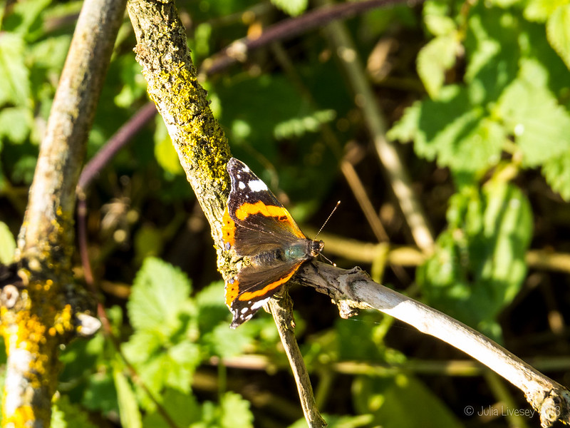 A Red Admiral out and about in the autumn sun