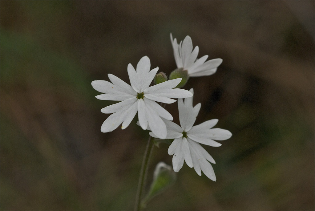 small-flowered woodland-star, small-flowered prairie-star
