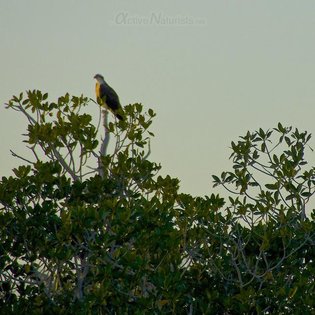 osprey 0002 Everglades, Florida, USA