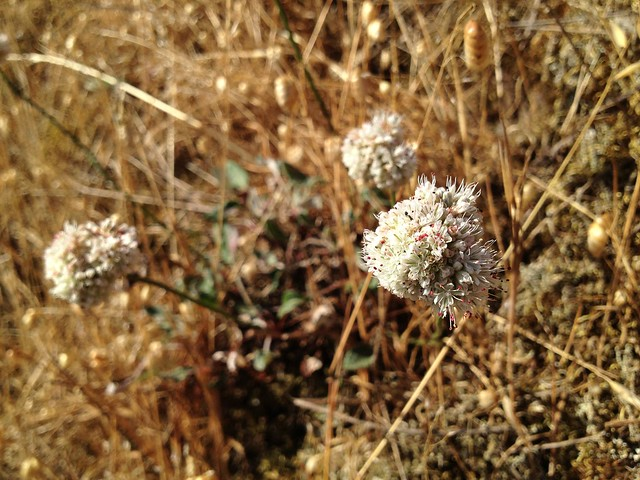 Pretty seaside buckwheat flowers