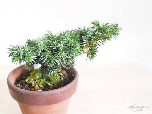 紫杜松bonsai20160612