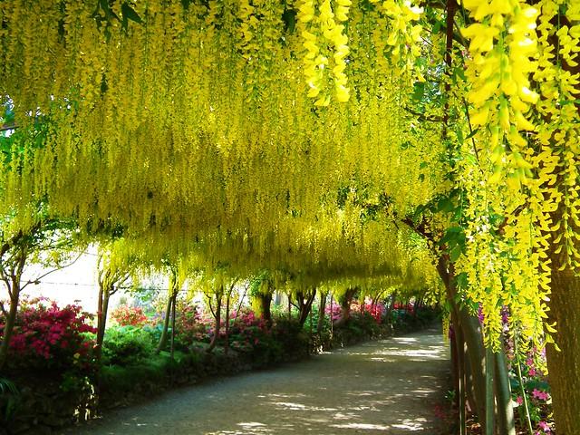 Laburnum Arch - Bodnant Garden
