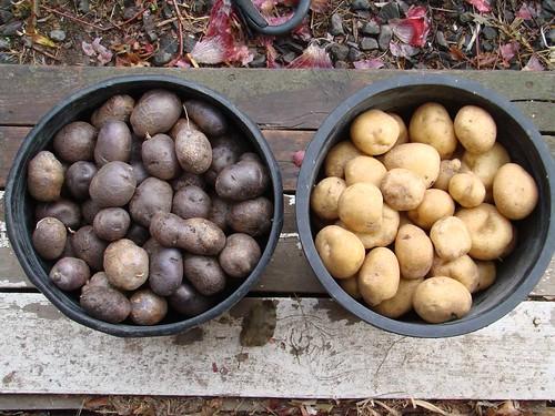 PotatoHarvest13