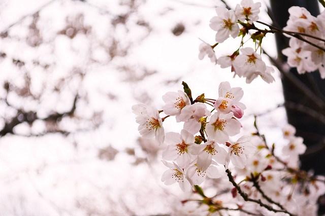 naritasan_sakura_20140402_1