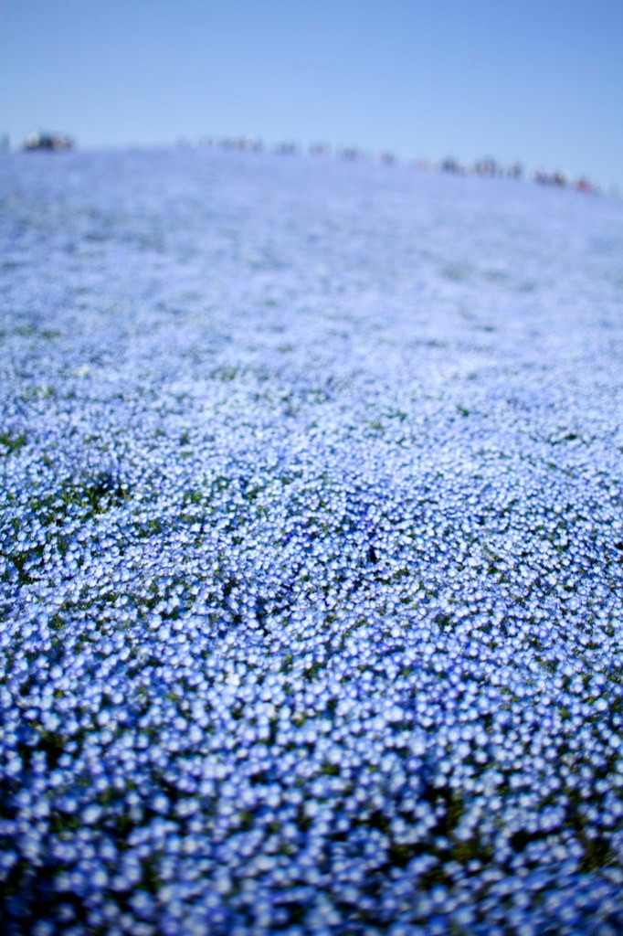 Hitachi Seaside Park, by Kobaken