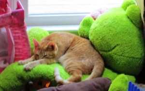 A cat sleeping on a frog.