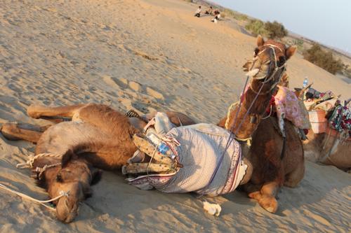 IMG_3325-safar-camels