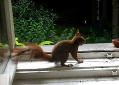 Eichhörnchen 4.1