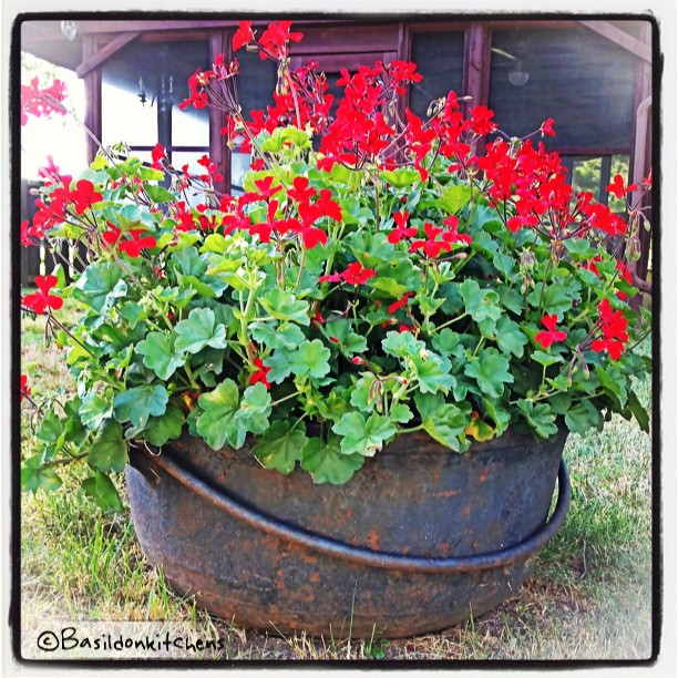 "July 25 - unusual use {we found this buried in the front lawn. It's a sap boiling vessel. It's cracked so it was turned into a planter; it's approx 30"" across} #photoaday #planter #geranium #garden #red #rusty #old #titlefx"
