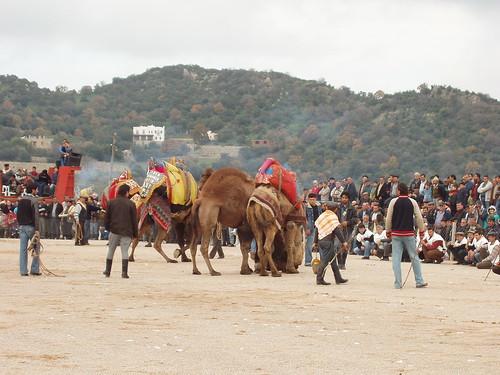 200601010024_camels_wrestling