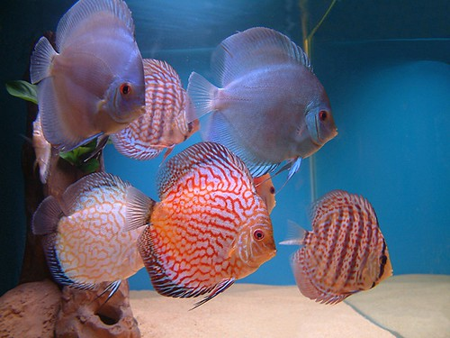 Discus fish by niomix2008