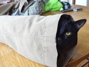 Adopt Black Cats Ava inside Joey's pants leg