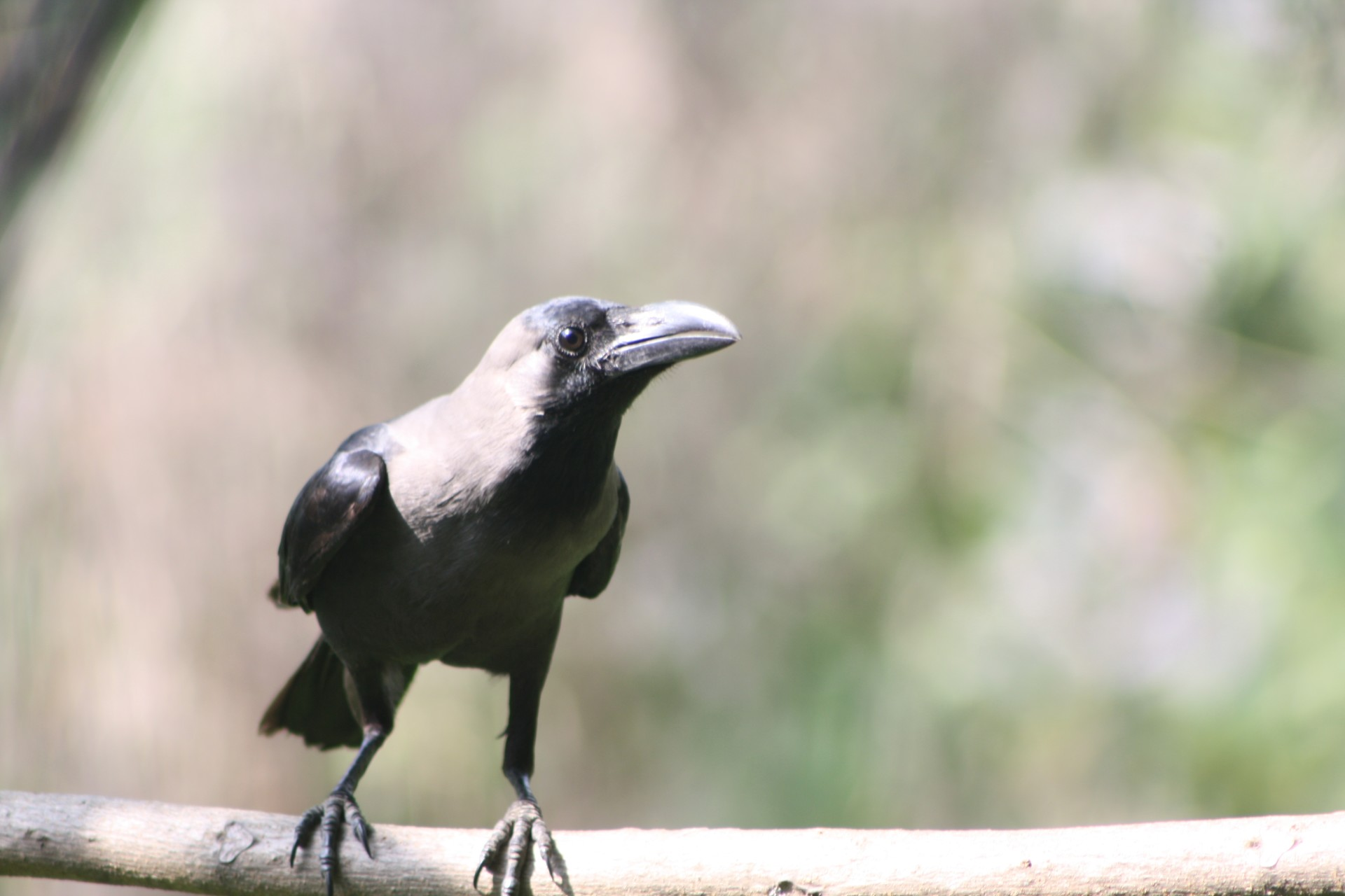 A crow enjoying the Heat