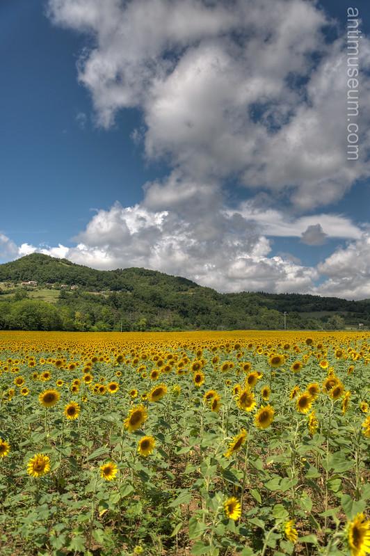 Sunflower Field - HDR