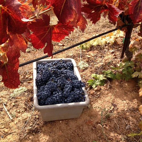 2013 grape harvest on its way from Gold Country. Photo of the 2013 Louie Zin from the grower. by eric.louie