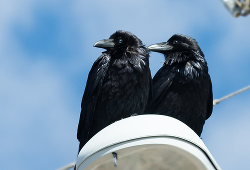 A Pair of Ravens by dagnyg